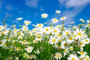 How to grow Daisies in your raised garden beds.